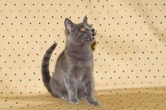 Meow kitten. Image of meow kitten sitting on sof Stock Image