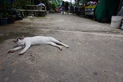 Meow ll. Cat in Thailand royalty free stock photo