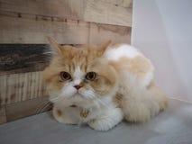 Meow Perski kot obrazy stock