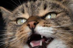 Meowing γάτα πορτρέτου κινηματογραφήσεων σε πρώτο πλάνο στοκ εικόνες με δικαίωμα ελεύθερης χρήσης