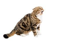 Meowing μια σκωτσέζικη πτυχή γατών Στοκ Εικόνα