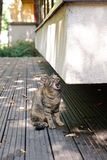 Meowing cat. A tabby cat sitting on a veranda meowing loudly Stock Photography