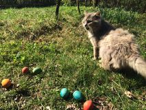 Meowing cat with the eastern eggs Stock Photo