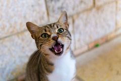 Meowing Cat in Nazareth Israel stock photo