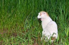 Meowing Cat. A cat sitting in green grass and meowing Stock Photo