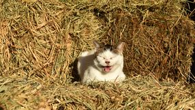 Meowing cat sitting on hay bales in barn royalty free stock photos