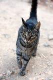 Meowing Cat Stock Photos