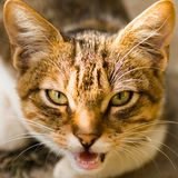 Meowing domestic cat animal portrait. Animal portrait of meowing red tabby domestic cat Royalty Free Stock Photography