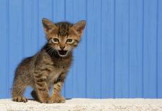 Meowing kitten Stock Images