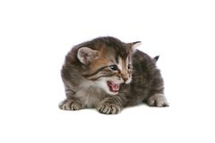 Meowing kitten Stock Photo
