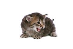 Meowing kitten. Brown tabby kitten meowing on white background Stock Photo