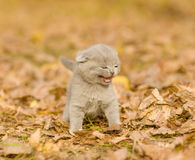 meowing kitten on the fallen leaves of autumn in the park Royalty Free Stock Photos