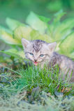 Meowing kitten  sitting in flowers Royalty Free Stock Photography