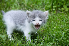 Meowing kitten. Small gray kitten meowing in a meadow closeup Stock Images