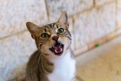 Meowing kot w Nazareth Izrael zdjęcie stock