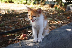 Meowing of  little cat Stock Photography