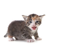 Meowing Newborn Domestic Kitten On White Stock Photos