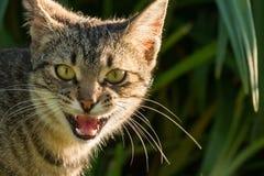 Meowing popielaty kot stoi przed zielonym krzakiem Zdjęcia Stock