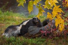 Mephitismephitisen för den gjorde randig skunken ser ut över Autumn Log royaltyfri foto
