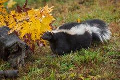 Mephitismephitisen för den gjorde randig skunken ser ut från under Autumn Leaf royaltyfria foton