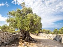 Mer än 1600 år gammal lös olivträd royaltyfria foton