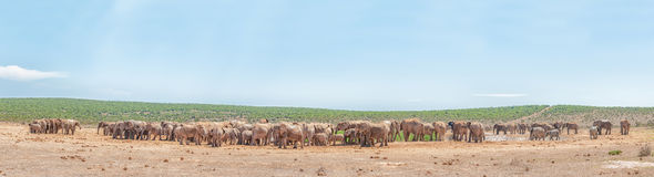 Mer än 200 elefanter som väntar för att dricka Royaltyfri Foto