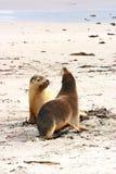 mer cinerea australienne de paires de neophoca de lions Photos stock