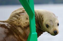 mer curieuse de lion Photos libres de droits