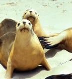 mer curieuse de lion Photographie stock