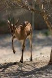 mer cuvier gazelle s Royaltyfria Foton