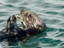 mer d'Alaska de loutre Photos stock