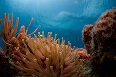 mer d'anémone Image libre de droits