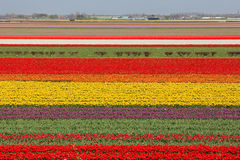 Mer de Clourful des tulipes en parc national de Keukenhof Photographie stock