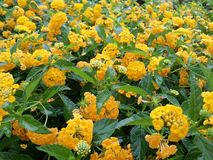 Mer de jaune Photos stock