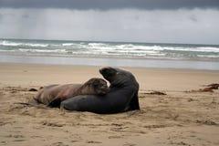 mer de lion Photos libres de droits