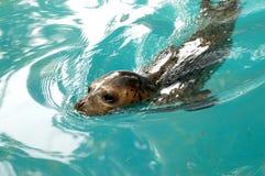 mer de lion photo libre de droits