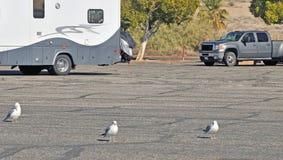 Mer de Salton : Oiseaux f une plume Photos stock