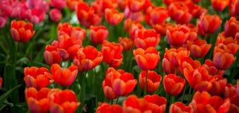Mer de tulipe Photos libres de droits