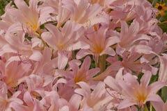 Mer des trompettes roses Image libre de droits