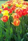 Mer des tulipes Image libre de droits