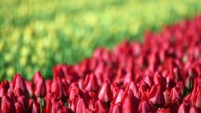 Mer des tulipes rouges et jaunes Photographie stock