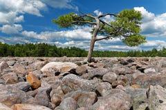 Mer djärv fält med det ensamma trädet Royaltyfri Fotografi