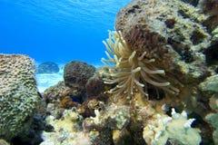 mer du Mexique de cozumel d'anémone Image libre de droits
