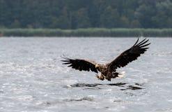 Mer Eagle coupée la queue par blanc Photos stock