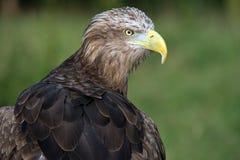 Mer Eagle coupée la queue par blanc Images libres de droits
