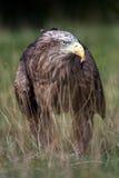 Mer Eagle coupée la queue par blanc Image stock