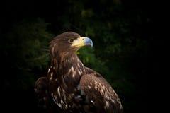 Mer Eagle coupée la queue par blanc Photo libre de droits