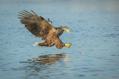 Mer Eagle de chasse images stock