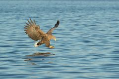 Mer Eagle de chasse photographie stock