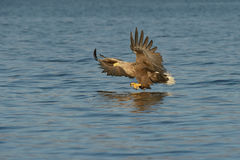 Mer Eagle de chasse Photos stock